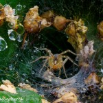 1449 Tunnel (funnel) Web Spider, TX