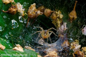 1449 Tunnel (funnel) Web Spider, TX