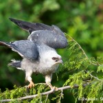 1464 Mississippi Kite, TX