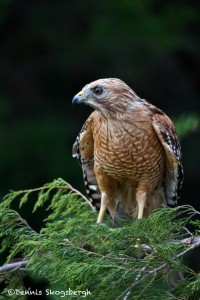 1465 Red Shouldered Hawk, TX