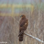 1471 Northern Harrier, Hagerman National Wildlife Refuge, TX