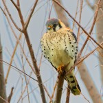 1483 American Kestrel, Hagerman National Wildlife Refuge, TX