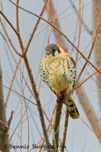 1483 American Kestrel, Hagerman National Wildlife Refuge, TX