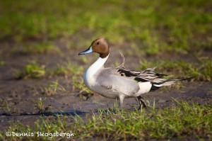 1484 Northern Pintail