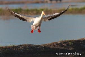 1502 American White Pelican, Hagerman National Wildlife Refuge, TX