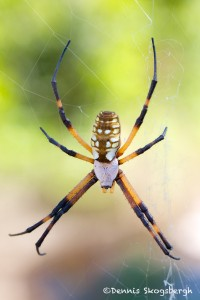 1513 Zipper Spider (Argiope aurantia).Hagerman National Wildlife Refuge, TX
