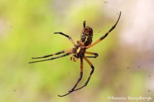 1515 Zipper Spider (Argiope aurantia). National Wildlife Refuge, TX