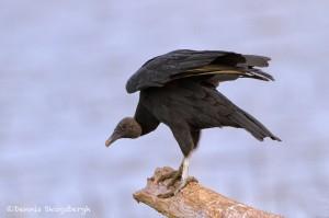 1516 Black Vulture, Hagerman National Wildlife Reguge, TX