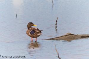 1519 Yellow-billed Duck. Hagerman NWR, TX