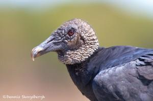 1520 Black Vulture, Hagerman National Wildlife Refuge, TX