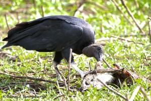 1524 Black Vulture, Hagerman National Wildlife Refuge, TX