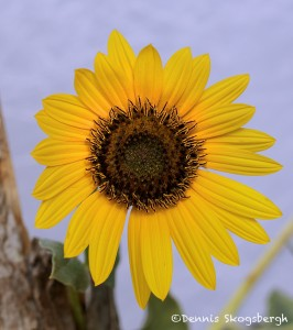 1526 Sunflower, Hagerman National Wildlife Refuge, TX