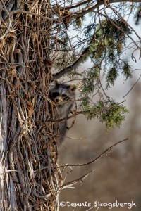1527 Racoon (Procyon lotor), Immature