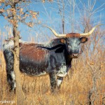 1528 Texas Longhorn, Wichita Mountains National Wildlife Refuge, OK