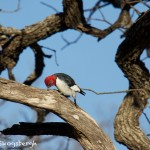 1532 Red-headed Woodpecker, Wichita Mountains National Wildlife Refuge, OK