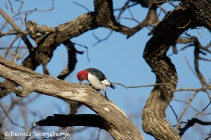1532 Red-headed Woodpecker, Wichita Mountains National Wildlife Refuge, OK