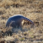 1533 Armadillo, Tishomingo National Wildlife Refuge, OK