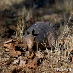 1534 Armadillo, Tishomingo National Wildlife Refuge, OK