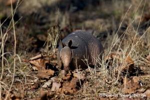 1534 Armadillo, Tishomingo National Wildlife Refuge, OK