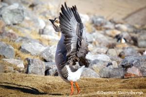 1535 Chinese Goose, Lawton, OK