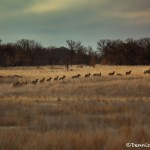 1537 Elk Herd, Wichita Mountains National Wildlife Refuge, OK