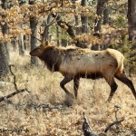 1538 Bull Elk, Wichita Mountains National Wildlife Refuge, OK