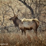 1539 Bull Elk, Wichita Mountains National Wildlife Refuge, OK
