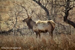 1539 Bull Elk, Wichita Mountains National Wildlife Refuge, OK