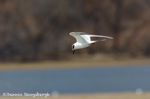 1541 Forester's Tern