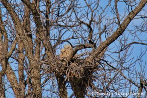 1543 Great Horned Owl chicks, Hagerman National Wildlife Refuge, TX