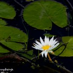 1546 Water Lily