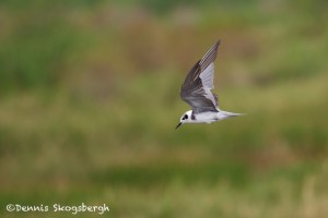 1547 Forester's Tern
