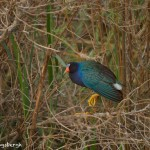 1549 Purple (Swamphen) Gallinule