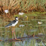 1552 Black-necked Stilt (Himantopus mexicanus)