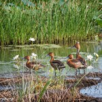 1553 Fulvous Whistling Ducks (Dendrocygna bicolor)