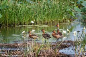 1553 Fulvous Whistling Ducks (Dendrocygna bicolor)