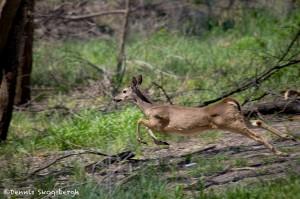 1567 White-tailed Deer