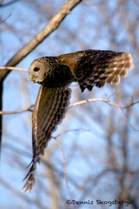 1569 Barred Owl, Hagerman National Wildlife Refuge, TX