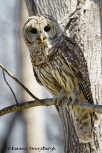 1573 Barred Owl (Strix varia), Hagerman National Wildlife refuge, TX