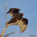 1577 Turkey Vulture, Hagerman National Wildlife Refuge, TX