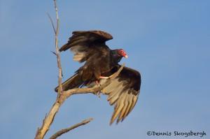 1577 Turkey Vulture, Hagerman National Wildlife Refuge, TX
