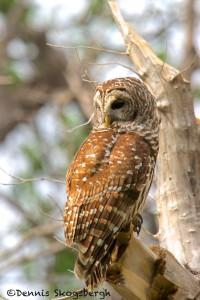 1582 Barred Owl (Strix varia), Hargerman National Wildlife Refuge, TX