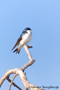 1591 Adult Male Tree Swallow (Tachycineta bicolor)