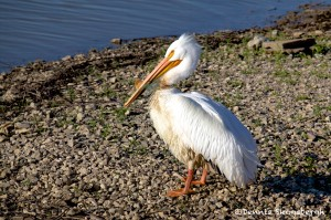 1592 American White Pelican (Pelicanus erythrorynchos)