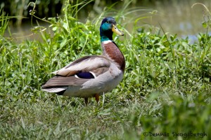 1594 Adult Male Mallard (Anas platyrhynchos), White Rock Lake, Dallas, TX