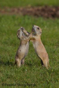 1597 Black-tailed Prairie Dog (Cynoms ludovicianus)