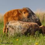 1598 American Bison (Buffalo)