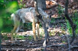 1599 Coyote (Canis latrans)