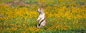 1605 Black-tailed Prairie Dog (Cynoms lodivicianus)