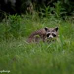 1608 Raccoon (Procyon lotor)